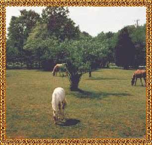 Palomino Brood mares